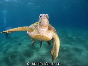 Male green turtle feeding on jellyfish by Adolfo Maciocco 